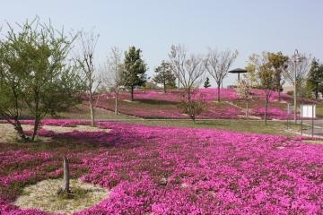 写真:芝桜